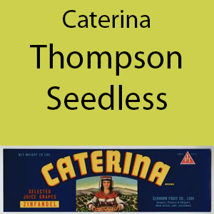 Caterina Thompson Seedless Clement Hills AVA Base of Sierra Foothills